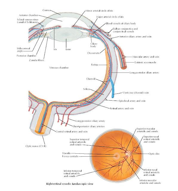 Intrinsic Arteries and Veins of Eye Anatomy
