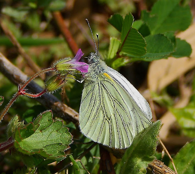 Green veined white butterfly (Pieris napi) on a lilac wildflower