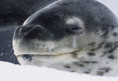 Anjing Laut Tutul