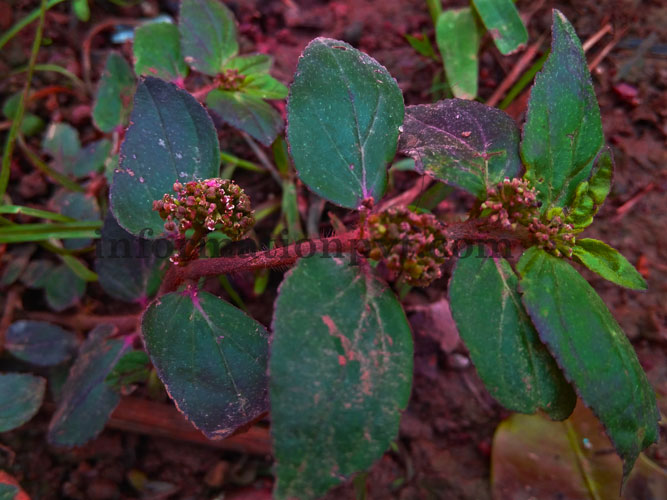 Dudhiya (Euphorbia hirta) Medicinal Plant