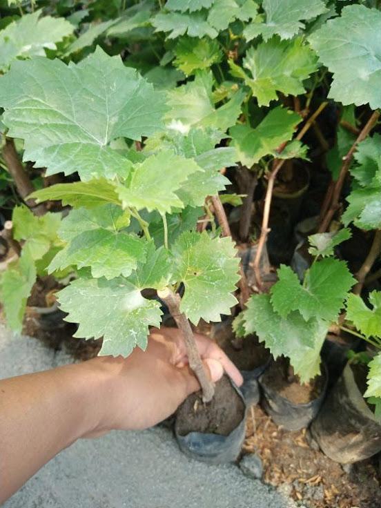 bibit buah anggur paket isi 3 bonus murbei Manado