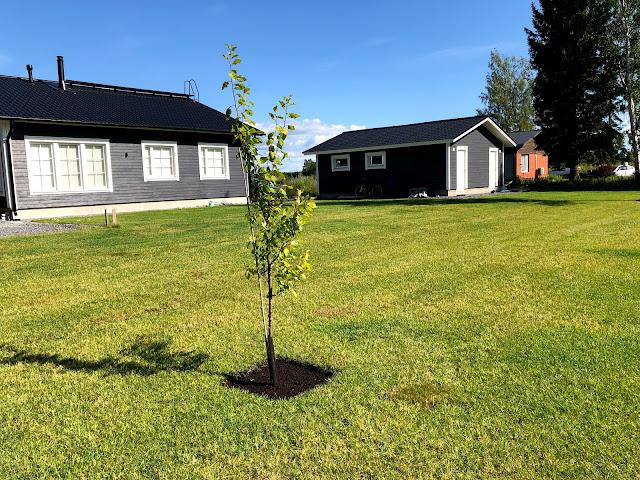 luumupuu, siirtonurmi, jukkatalon rakentaminen, istuttaminen, istutusohje, vihermatto, puiden istuttaminen, pihasuunnitelma, pihan suunnittelu, pihatyöt, piha, omakotitalo, rakennusblogi