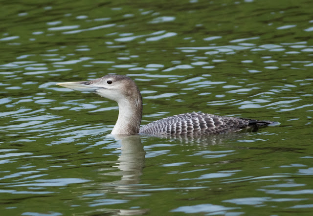 White-billed Diver - Lincolnshire
