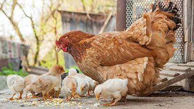 Backyard poultry farming