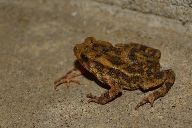 Ingerophrynus biporcatus