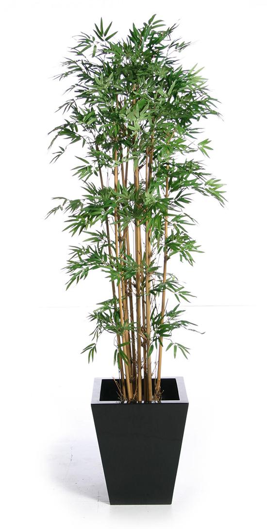 Tre là một loại cây cảnh trồng trong nhà tuyệt vời