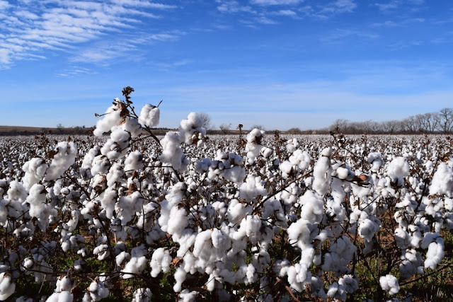 Top10 largest Agriculture Producing India cotton