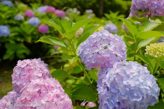 カラフルな紫陽花畑