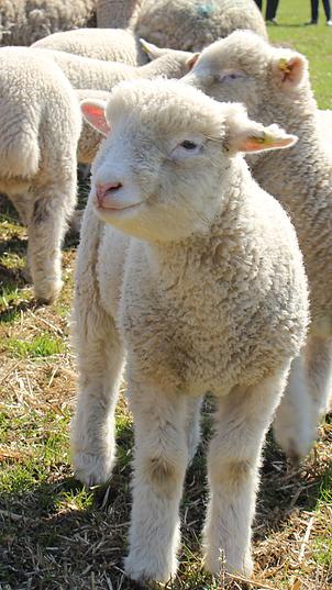 Poll Dorset lamb