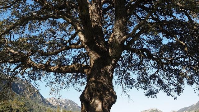 pertumbuhan pohon kamper