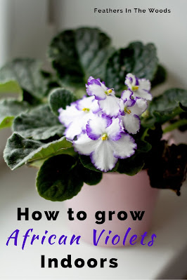 White African violet flowering plant with purple tinged flowers