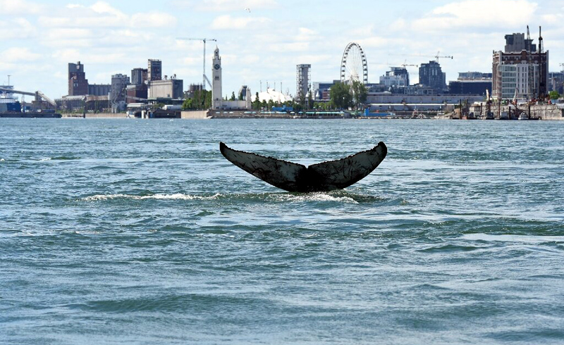 Wayward whale takes city break in Montreal