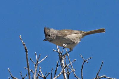 Photo of Oak Titmouse in tree top