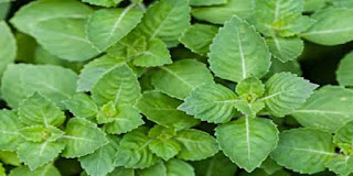 तुलसी का पौधा