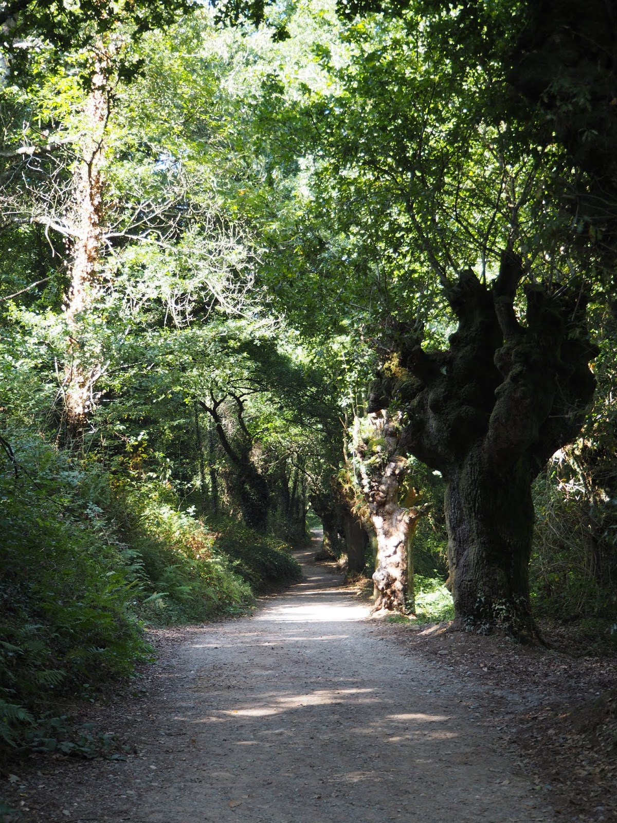 Forest on the camino in the area of sarria