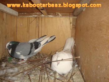Kabootar for sale olx car