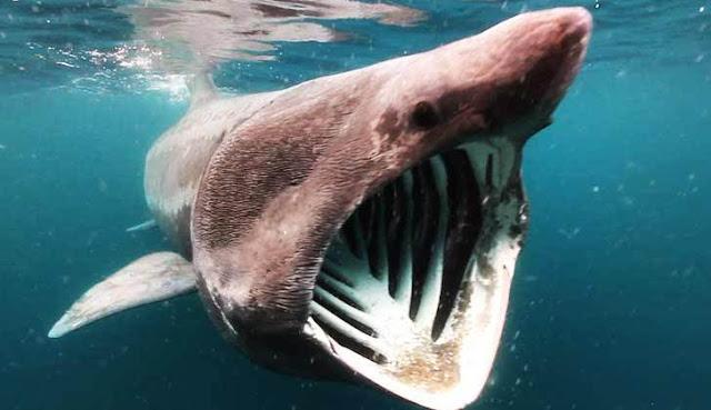 10 Ikan Hiu Terbesar di Dunia, Bahkan Ada yang Sebesar Kapal Pesiar
