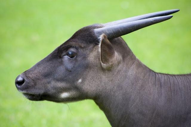 Anoa, hewan endemik Indonesia