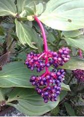 jual bibit parijoto,manfaat buah parijoto,bibit parijoto siap tanam,tanaman parijoto langka,daun parijoto,buah parijoto