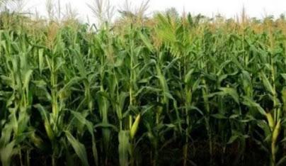tebon jagung pakan ternak madani farm