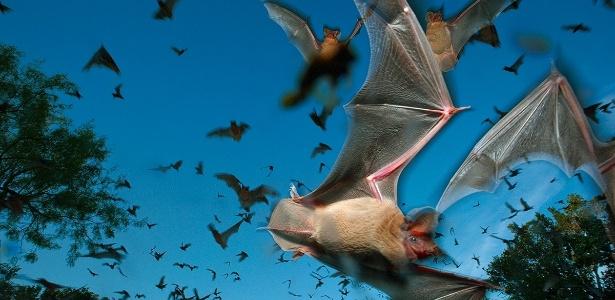Os morcegos são animais encontrados nas florestas, campos e cidades, E, se por um lado eles são de suma importância para o equilíbrio ambiental, por outro, o convívio com os humanos exige certos cuidados preventivos. Daí a ser importante conhecermos seus hábitos para a promoção de uma convivência pacífica e segura.