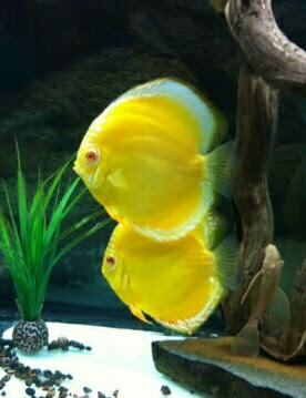 discus gold yellow diamond