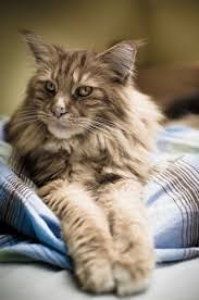 Cara Merawat Kucing Maine Coon