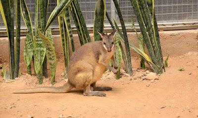 kangaroo di cameron highlands