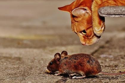 Hewan Pengerat Ini Merusak dan Berbahaya Bagi Kesehatan, Begini Cara Mengusir Tikus dari Plafon Rumah