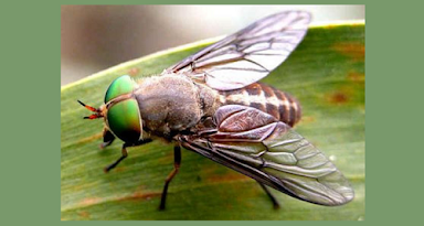 """Horse Fly (Tapadinae). Horse Flies are short-bodied, but stout, and are brown, black or yellow. They usually have black splotches or patterns on their wings and stripes on their abdomens. These biting flies have protuberant mouth parts and very large, psychedelic eyes. This is a Greenhead Horse Fly, one of the largest species (can be over 1/2"""")."""