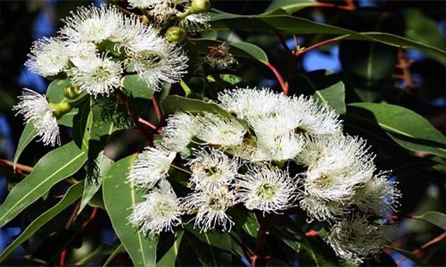 Eucalipto (Eucalyptus globulus Labill.)