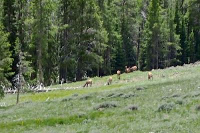 Elk Yellowstone National Park