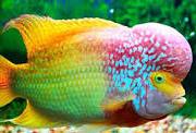 Ikan Hias Air Tawar Termahal Louhan