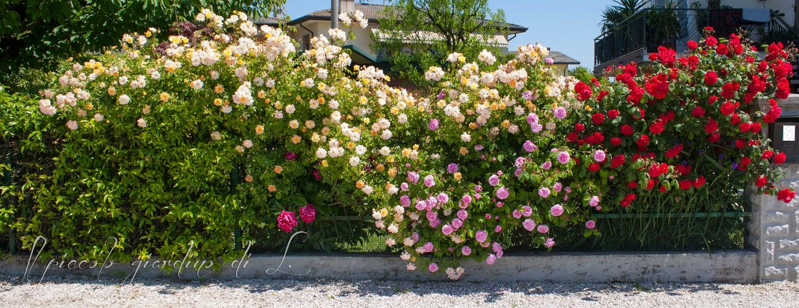 il piccolo giardino di l.: la siepe di rose - Siepe Da Giardino Piccolo