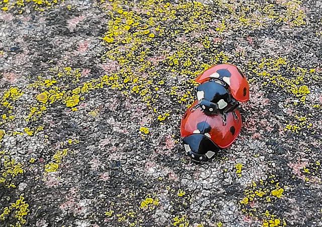 Photo of two ladybirds playing piggyback