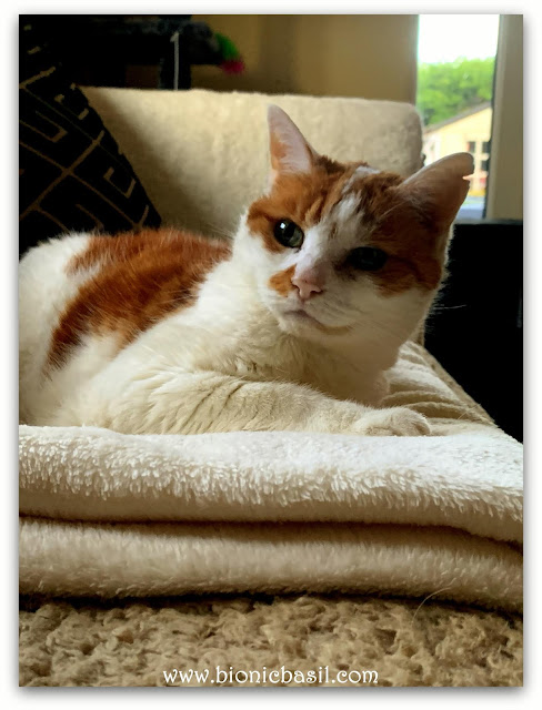 Feline Fiction on Fridays #125 ©BionicBasil® Amber reclining