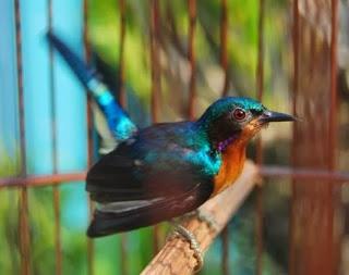 Tips Jitu Perawatan Burung Kolibri Ninja Bakalan Agar Cepat Gacor