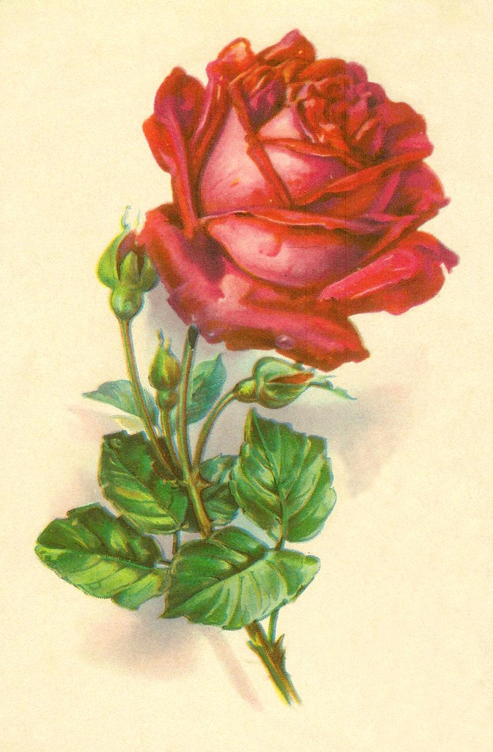 Antique Images Free Rose Graphic Botanical Illustration Of Red