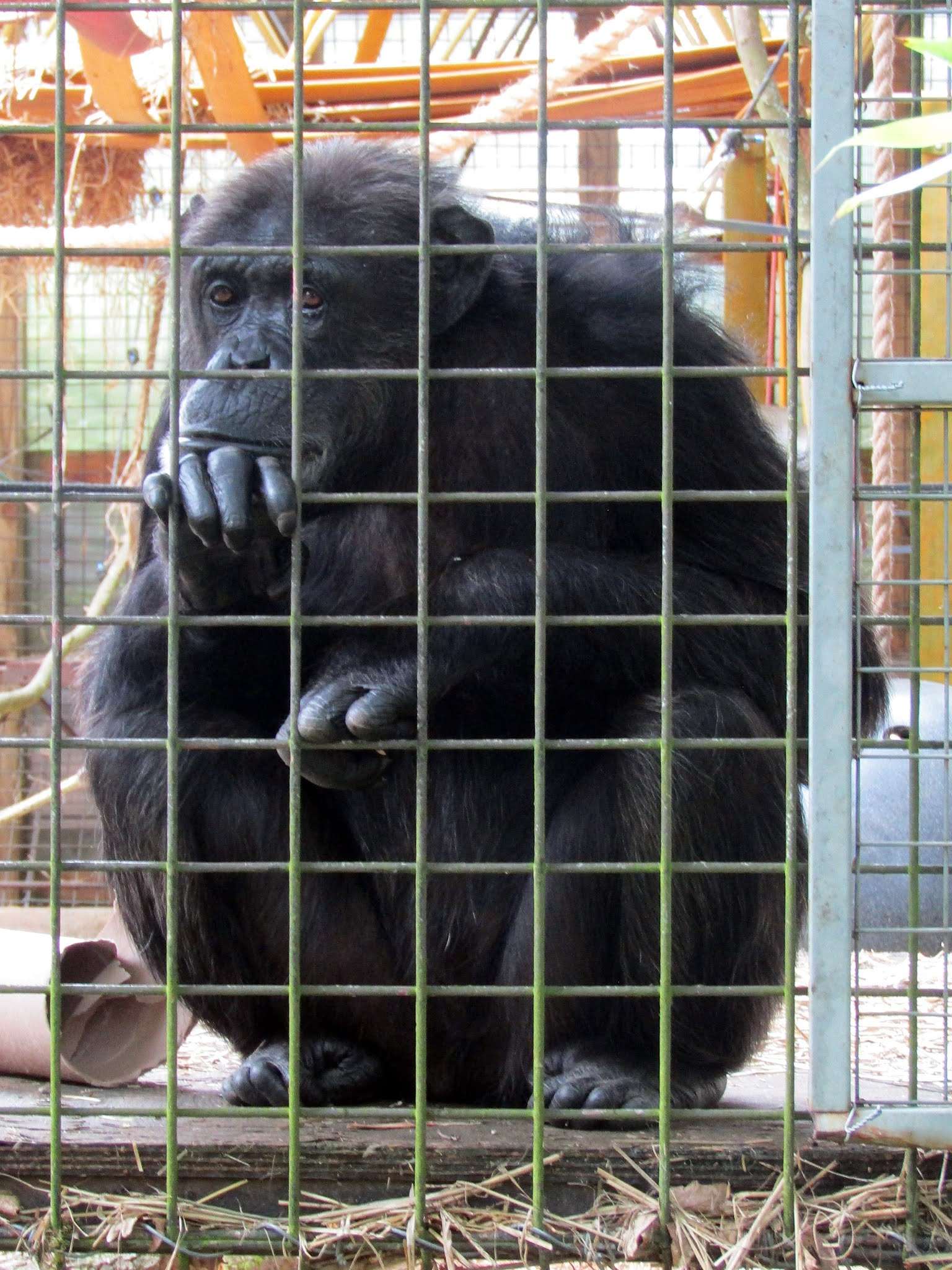 A photo of an adult chimpanzee at Whipsnade Zoo.