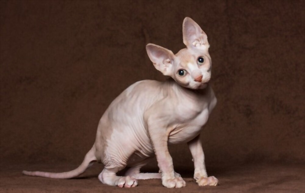 how expensive is a hairless cat