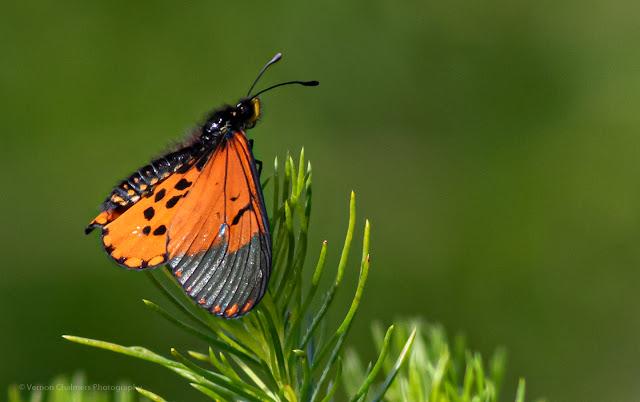 Male Garden Acraea Butterfly Kirstenbosch National Botanical Garden Cape Town Vernon Chalmers Photography