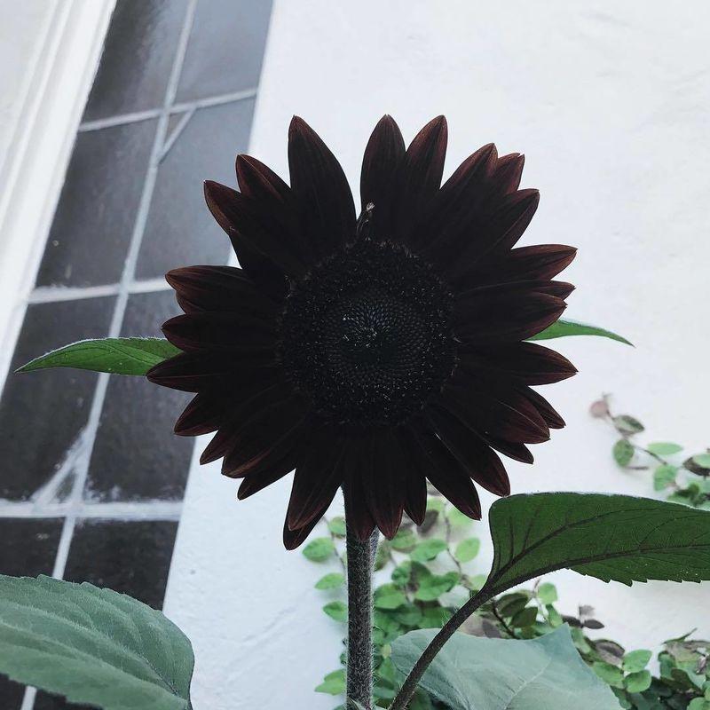 Girasol negro