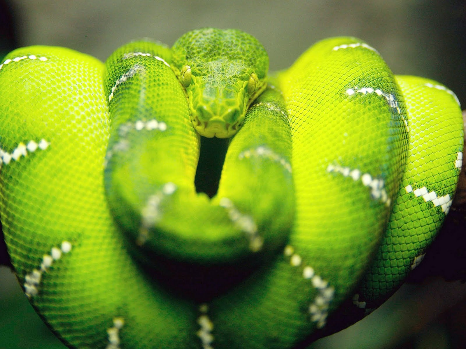 Hd wallpaper of green snake hd wallpapers - Green snake hd wallpaper ...