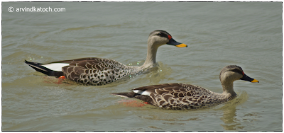 Spot Billed Ducks, Pair, Duck