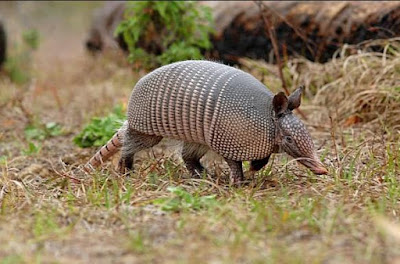 Armadillo - Animals Starting With A