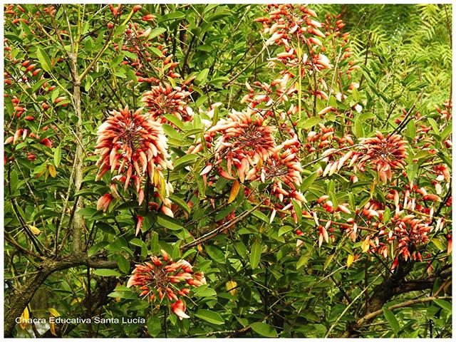 Racimos de flores de Ceibor-Chacra Educativa Santa Lucía
