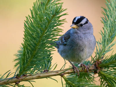 Photo of adult White-crowned Sparrow in fir tree