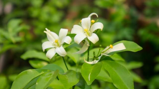 Tanaman Penghancur Santet Bunga Kemuning