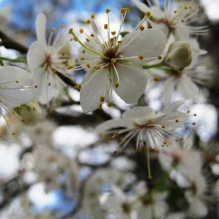 wild plum blooms