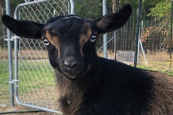 baby nigerian dwarf goats, nigerian dwarf goats milk, raising nigerian dwarf goats, miniature nigerian dwarf goats @tamilfarming